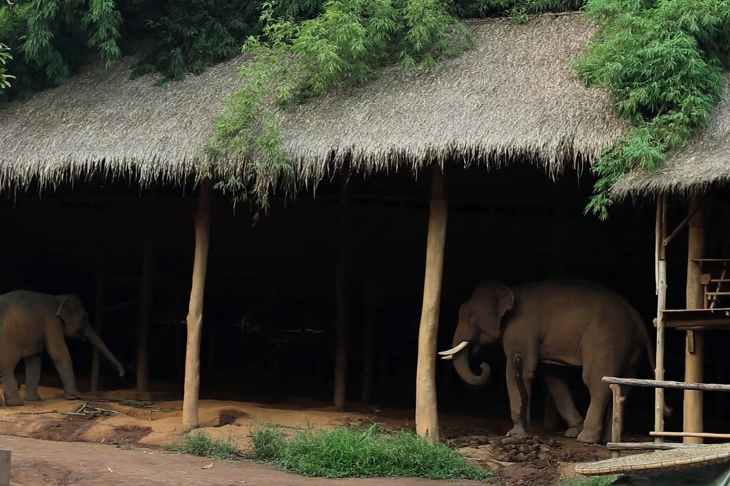 Black Ivory Coffee Elephant Shed