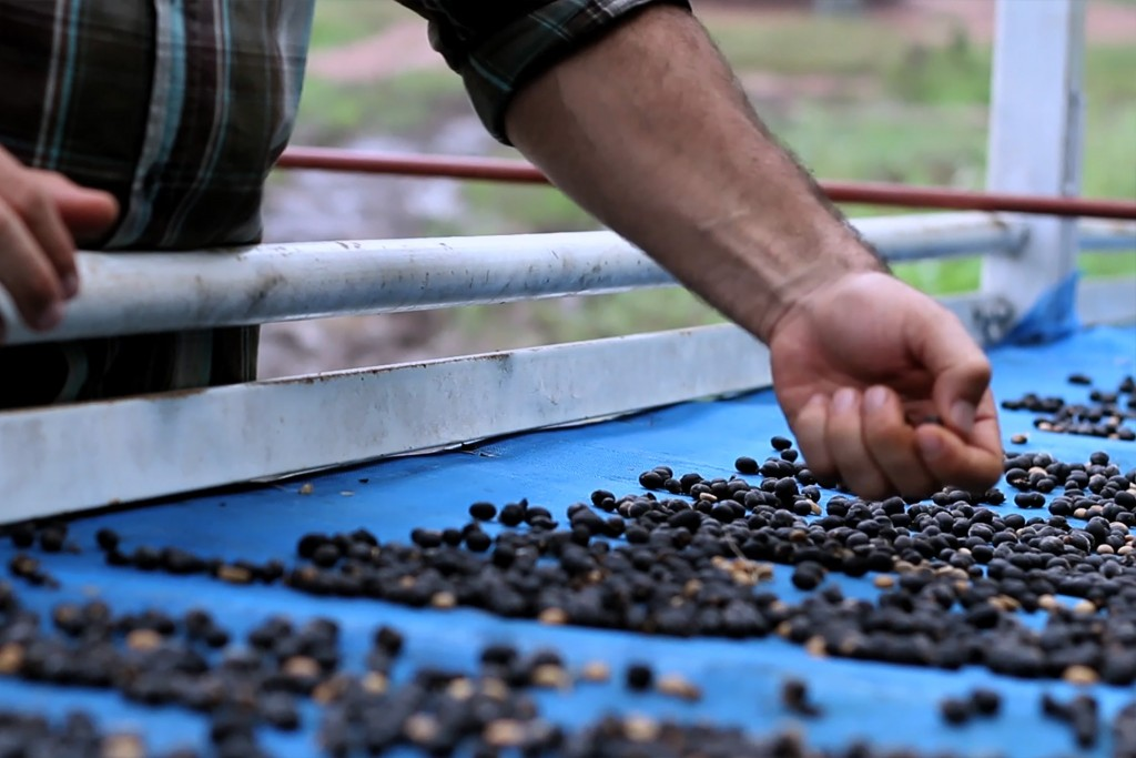 Black Ivory Coffee Drying